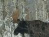 moose081